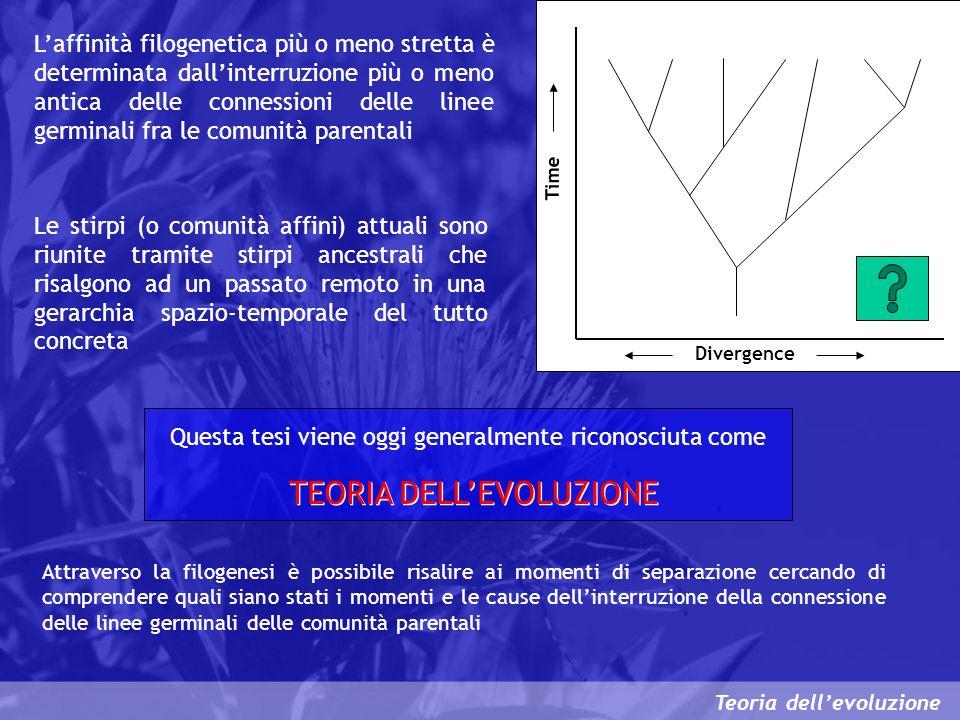 Teoria dellevoluzione Laffinità filogenetica più o meno stretta è determinata dallinterruzione più o meno antica delle connessioni delle linee germina