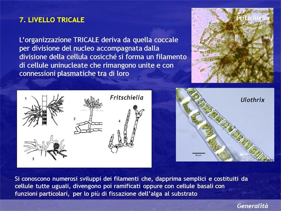 Generalità Lorganizzazione TRICALE deriva da quella coccale per divisione del nucleo accompagnata dalla divisione della cellula cosicché si forma un filamento di cellule uninucleate che rimangono unite e con connessioni plasmatiche tra di loro 7.