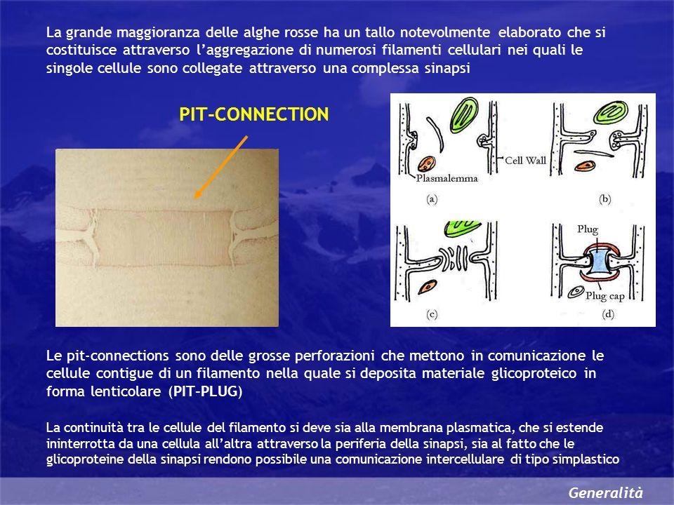 Generalità La grande maggioranza delle alghe rosse ha un tallo notevolmente elaborato che si costituisce attraverso laggregazione di numerosi filamenti cellulari nei quali le singole cellule sono collegate attraverso una complessa sinapsi Le pit-connections sono delle grosse perforazioni che mettono in comunicazione le cellule contigue di un filamento nella quale si deposita materiale glicoproteico in forma lenticolare (PIT-PLUG) PIT-CONNECTION La continuità tra le cellule del filamento si deve sia alla membrana plasmatica, che si estende ininterrotta da una cellula allaltra attraverso la periferia della sinapsi, sia al fatto che le glicoproteine della sinapsi rendono possibile una comunicazione intercellulare di tipo simplastico
