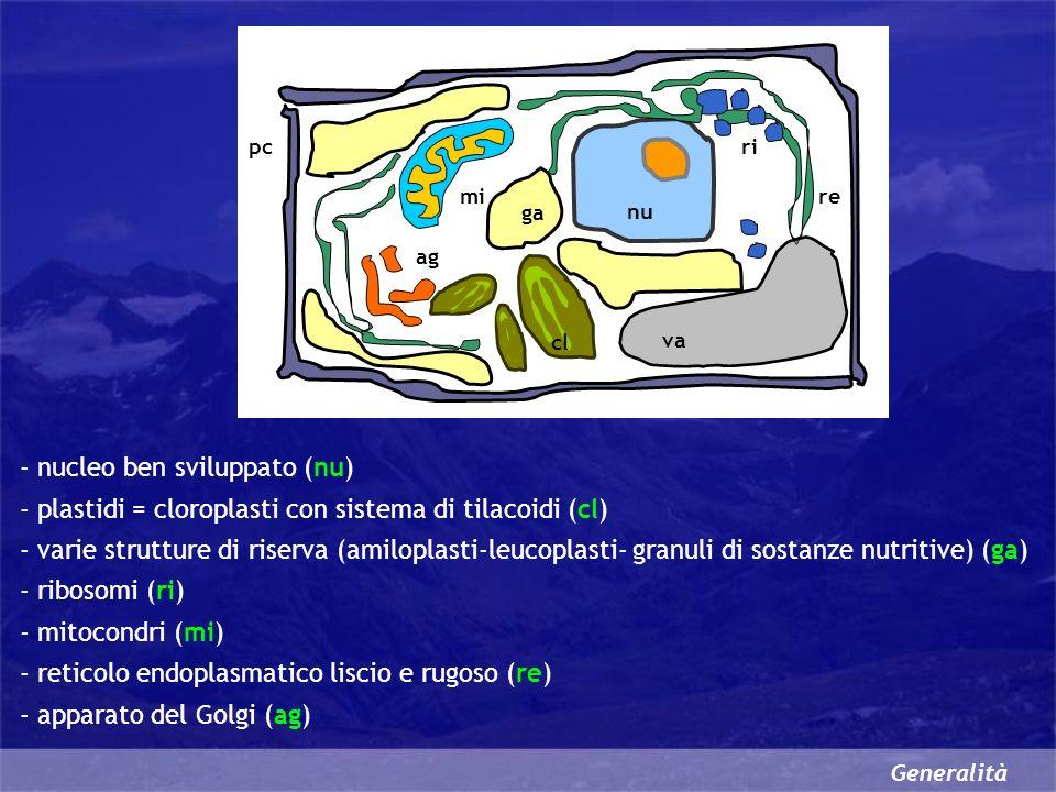 Generalità nu cl va mi ri re pc ag ga - nucleo ben sviluppato (nu) - plastidi = cloroplasti con sistema di tilacoidi (cl) - varie strutture di riserva (amiloplasti-leucoplasti- granuli di sostanze nutritive) (ga) - ribosomi (ri) - mitocondri (mi) - reticolo endoplasmatico liscio e rugoso (re) - apparato del Golgi (ag)