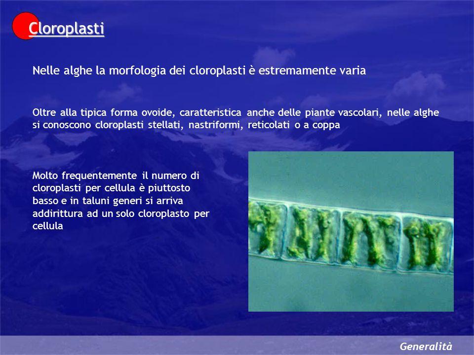 Generalità Cloroplasti Nelle alghe la morfologia dei cloroplasti è estremamente varia Oltre alla tipica forma ovoide, caratteristica anche delle piante vascolari, nelle alghe si conoscono cloroplasti stellati, nastriformi, reticolati o a coppa Molto frequentemente il numero di cloroplasti per cellula è piuttosto basso e in taluni generi si arriva addirittura ad un solo cloroplasto per cellula