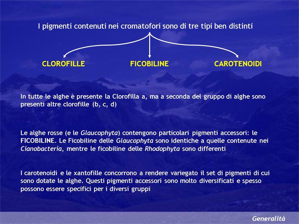 Generalità I pigmenti contenuti nei cromatofori sono di tre tipi ben distinti CLOROFILLE In tutte le alghe è presente la Clorofilla a, ma a seconda del gruppo di alghe sono presenti altre clorofille (b, c, d) Le alghe rosse (e le Glaucophyta) contengono particolari pigmenti accessori: le FICOBILINE.