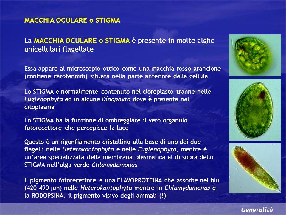 Generalità MACCHIA OCULARE o STIGMA La MACCHIA OCULARE o STIGMA è presente in molte alghe unicellulari flagellate Essa appare al microscopio ottico come una macchia rosso-arancione (contiene carotenoidi) situata nella parte anteriore della cellula Lo STIGMA è normalmente contenuto nel cloroplasto tranne nelle Euglenophyta ed in alcune Dinophyta dove è presente nel citoplasma Lo STIGMA ha la funzione di ombreggiare il vero organulo fotorecettore che percepisce la luce Questo è un rigonfiamento cristallino alla base di uno dei due flagelli nelle Heterokontophyta e nelle Euglenophyta, mentre è unarea specializzata della membrana plasmatica al di sopra dello STIGMA nellalga verde Chlamydomonas Il pigmento fotorecettore è una FLAVOPROTEINA che assorbe nel blu (420-490 m) nelle Heterokontophyta mentre in Chlamydomonas è la RODOPSINA, il pigmento visivo degli animali (!)
