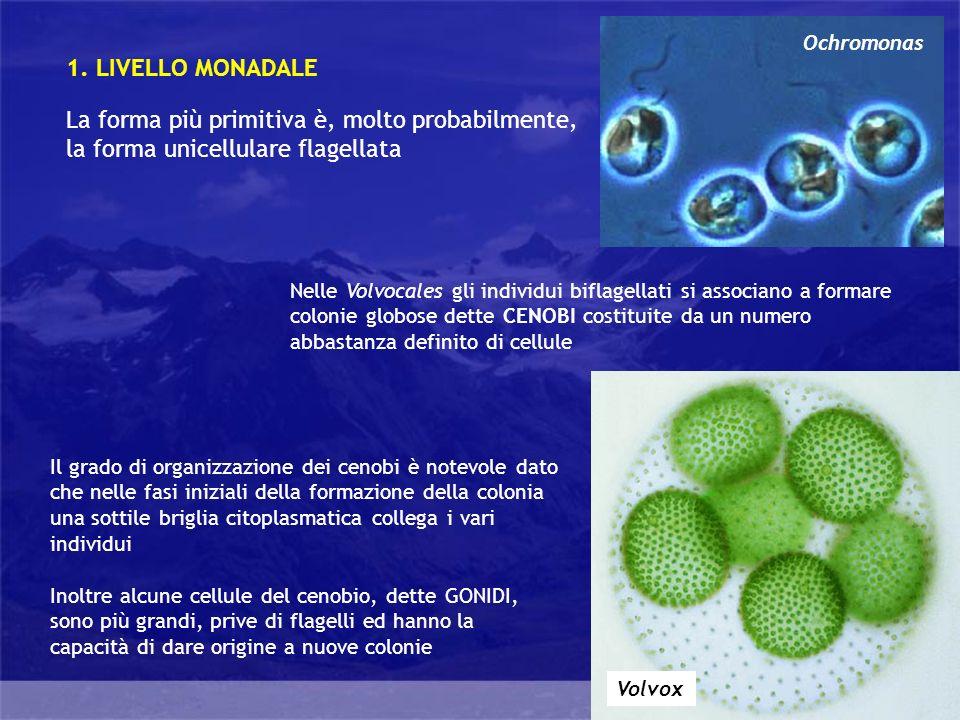 Generalità Questo livello di organizzazione, anchesso molto semplice, comprende alghe unicellulari prive di parete che formano pseudopodi per catturare particelle solide di cibo 2.