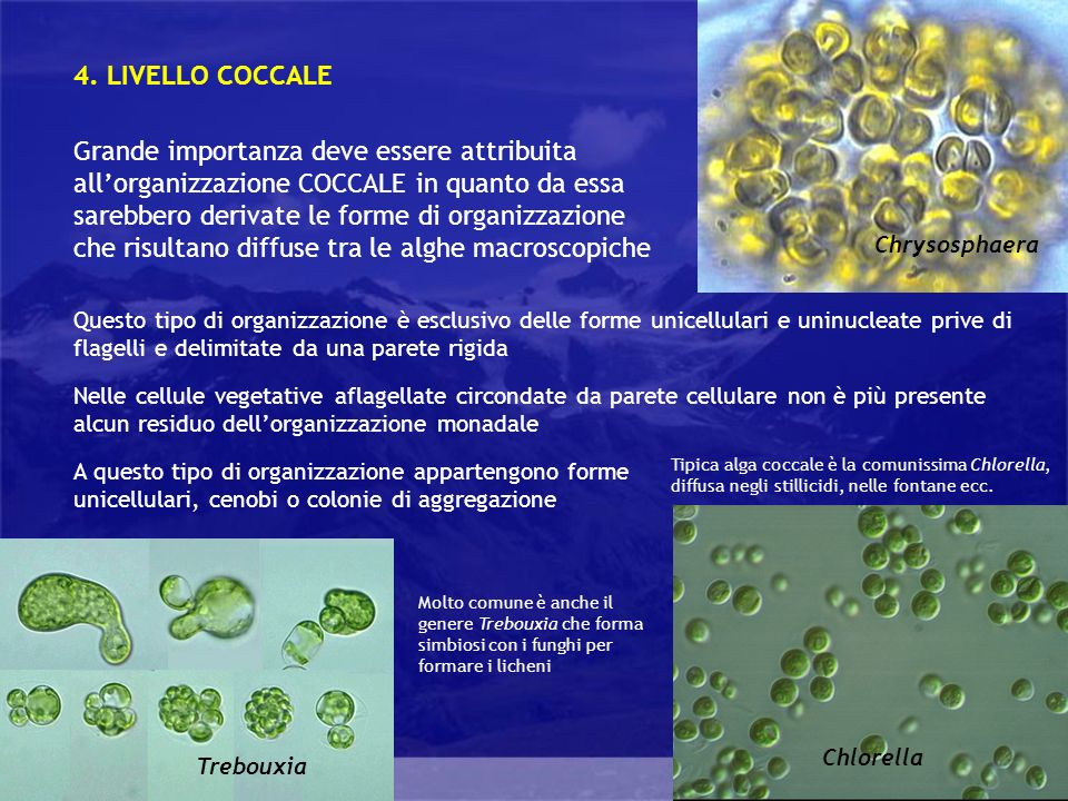 Generalità Grande importanza deve essere attribuita allorganizzazione COCCALE in quanto da essa sarebbero derivate le forme di organizzazione che risultano diffuse tra le alghe macroscopiche 4.
