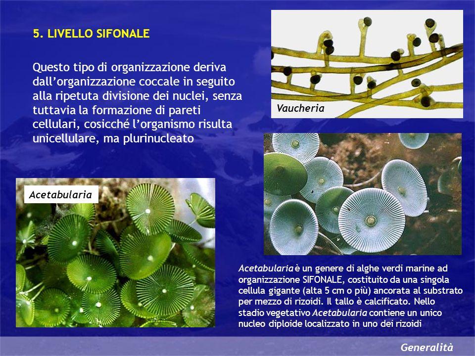 Generalità Le alghe che appartengono a questo livello di organizzazione sono pluricellulari ed ogni cellula presenta numerosi nuclei 6.