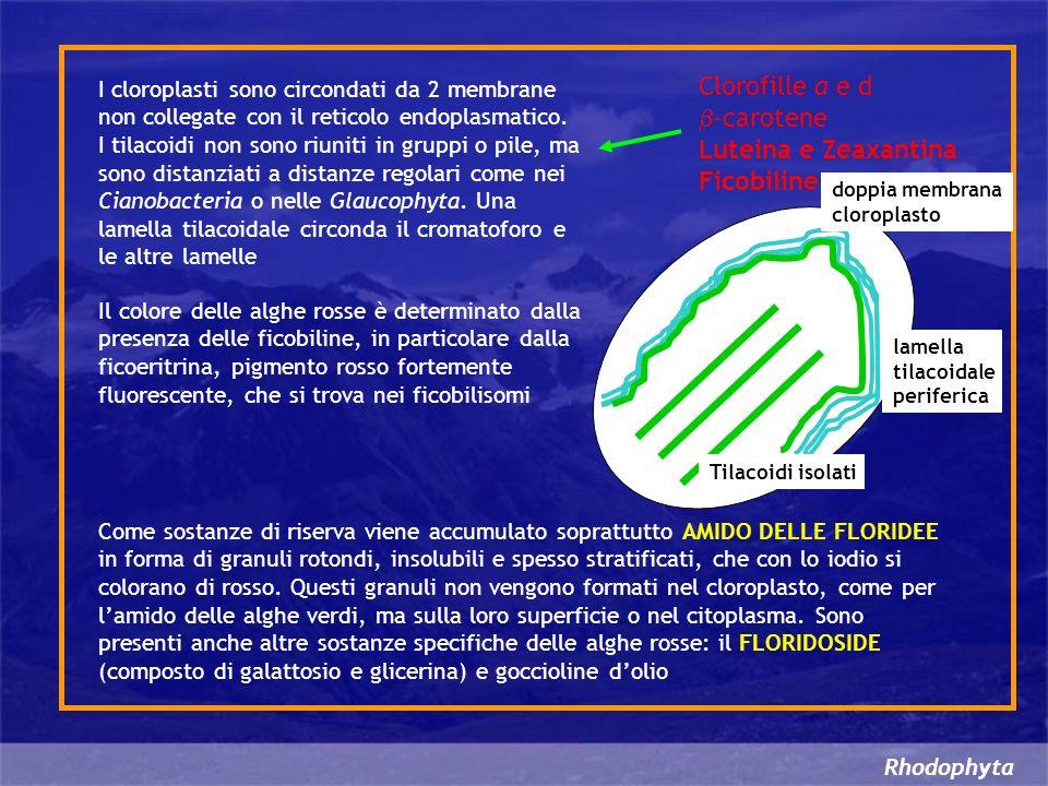 Rhodophyta I cloroplasti sono circondati da 2 membrane non collegate con il reticolo endoplasmatico. I tilacoidi non sono riuniti in gruppi o pile, ma