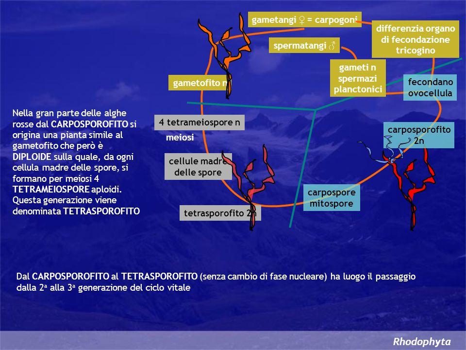 Rhodophyta Nella gran parte delle alghe rosse dal CARPOSPOROFITO si origina una pianta simile al gametofito che però è DIPLOIDE sulla quale, da ogni c