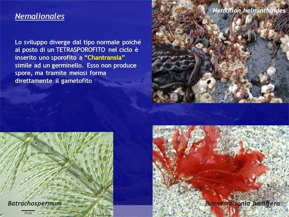 Rhodophyta Nemalionales Lo sviluppo diverge dal tipo normale poiché al posto di un TETRASPOROFITO nel ciclo è inserito uno sporofito a Chantransia sim