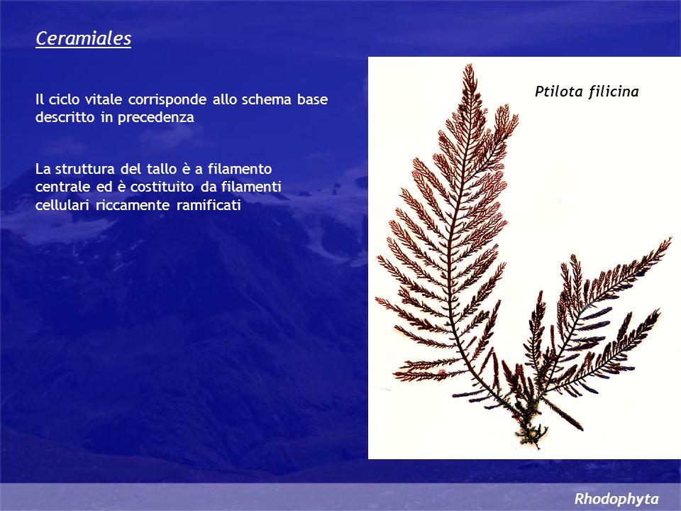 Rhodophyta Ceramiales Il ciclo vitale corrisponde allo schema base descritto in precedenza La struttura del tallo è a filamento centrale ed è costitui