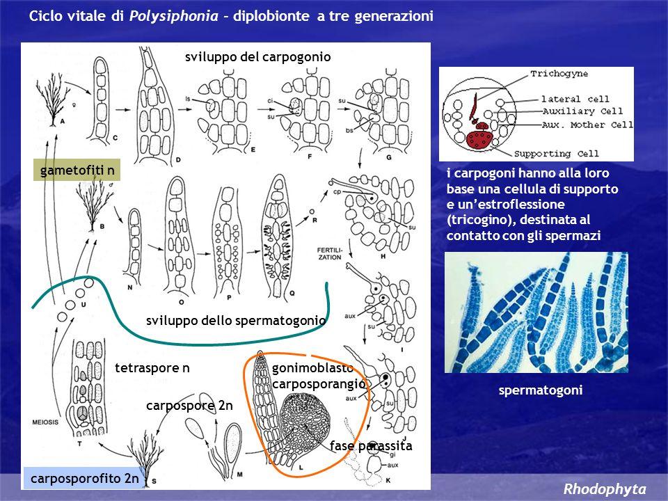 gametofiti n sviluppo del carpogonio sviluppo dello spermatogonio i carpogoni hanno alla loro base una cellula di supporto e unestroflessione (tricogi