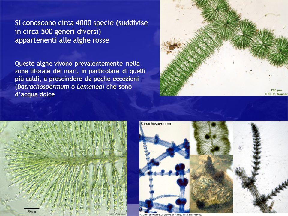 Rhodophyta Si conoscono circa 4000 specie (suddivise in circa 500 generi diversi) appartenenti alle alghe rosse Queste alghe vivono prevalentemente ne