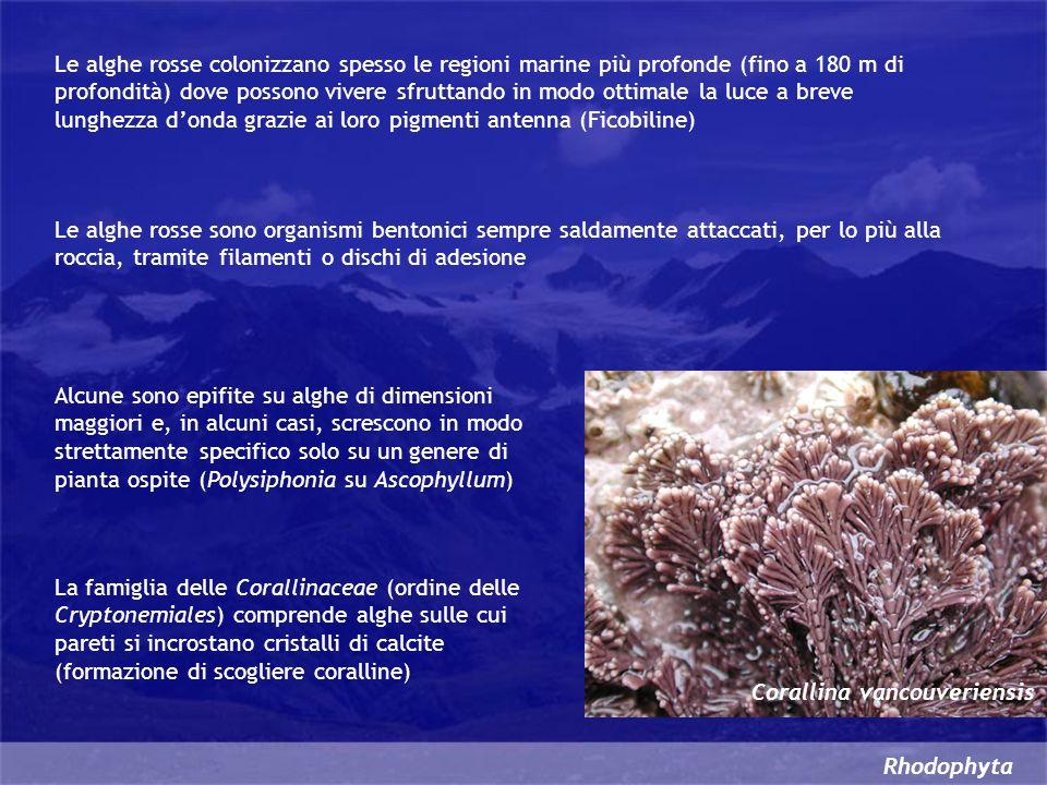 Rhodophyta Le alghe rosse colonizzano spesso le regioni marine più profonde (fino a 180 m di profondità) dove possono vivere sfruttando in modo ottima
