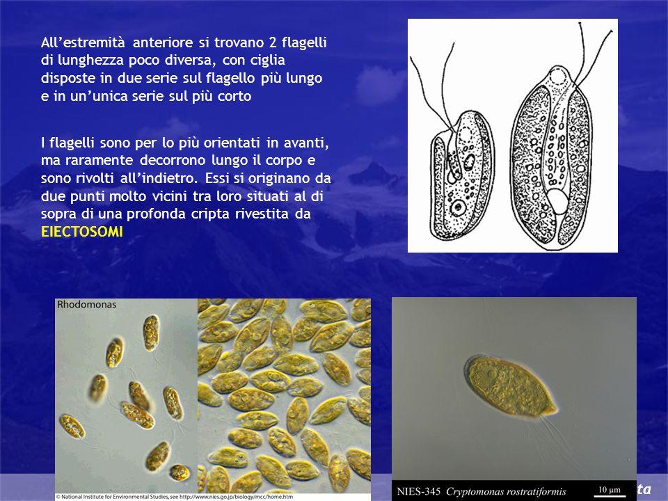 Cryptophyta Allestremità anteriore si trovano 2 flagelli di lunghezza poco diversa, con ciglia disposte in due serie sul flagello più lungo e in ununi