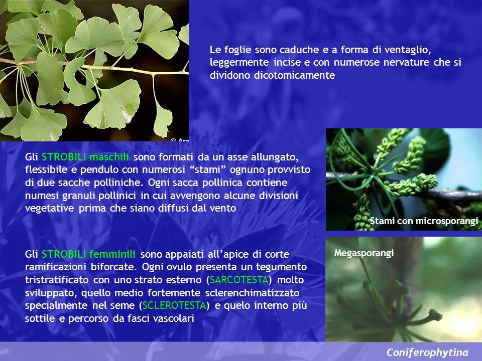 Coniferophytina Le foglie sono caduche e a forma di ventaglio, leggermente incise e con numerose nervature che si dividono dicotomicamente Gli STROBIL