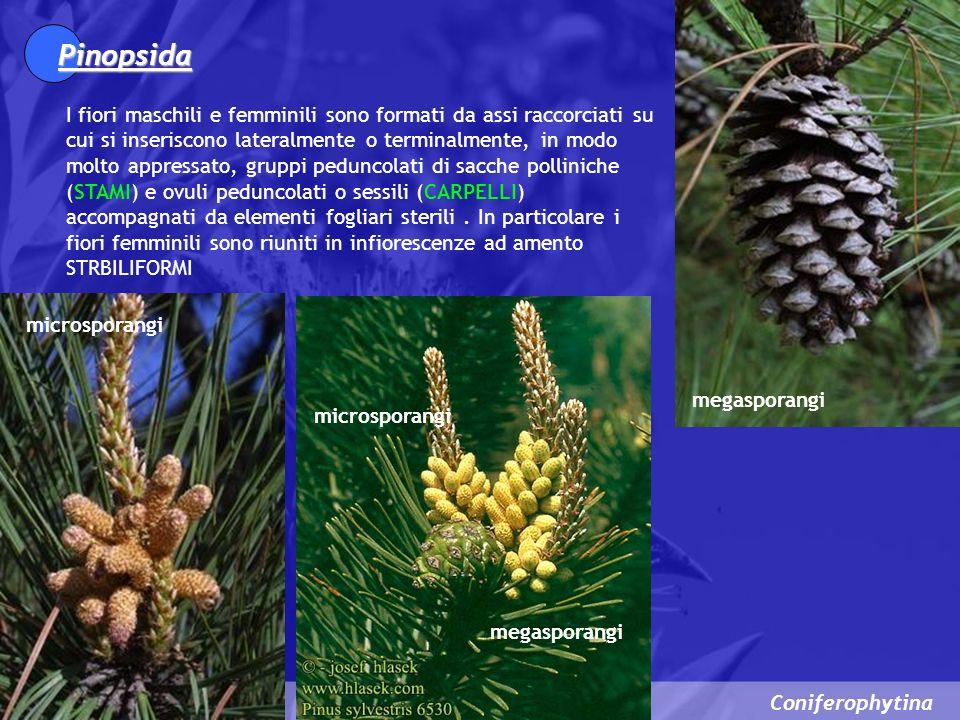 Pinopsida I fiori maschili e femminili sono formati da assi raccorciati su cui si inseriscono lateralmente o terminalmente, in modo molto appressato,