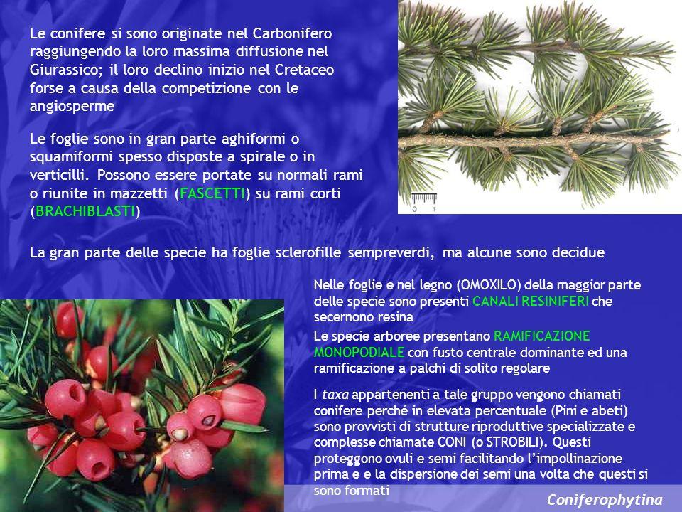 Coniferophytina Le conifere si sono originate nel Carbonifero raggiungendo la loro massima diffusione nel Giurassico; il loro declino inizio nel Creta