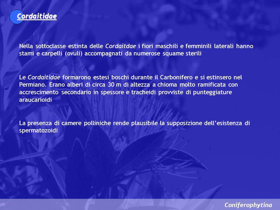 Coniferophytina Cordaitidae Nella sottoclasse estinta delle Cordaitdae i fiori maschili e femminili laterali hanno stami e carpelli (ovuli) accompagna