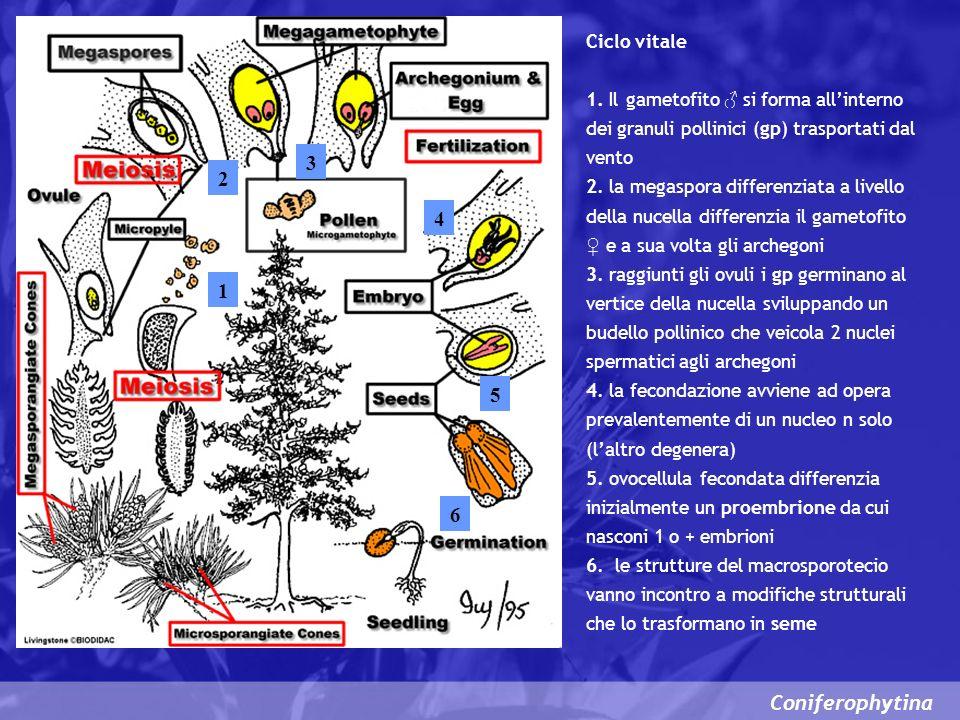 Coniferophytina Ciclo vitale 1. Il gametofito si forma allinterno dei granuli pollinici (gp) trasportati dal vento 2. la megaspora differenziata a liv