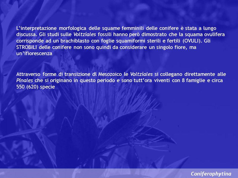 Coniferophytina Linterpretazione morfologica delle squame femminili delle conifere è stata a lungo discussa. Gli studi sulle Voltziales fossili hanno