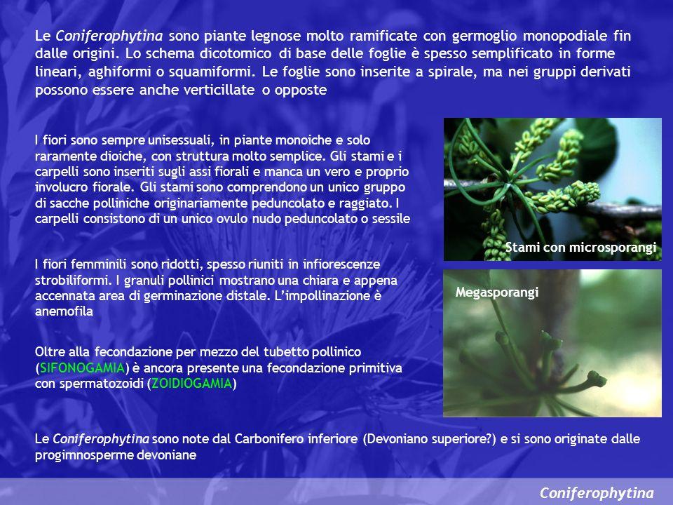 Coniferophytina Ginkgoopsida Questa classe è rappresentata attualmente da una sola specie vivente (Ginkgo biloba) che è la pianta a semi vivente più antica.
