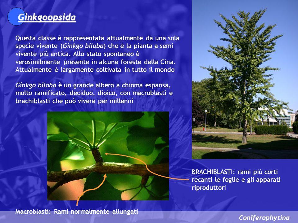 Coniferophytina Ginkgoopsida Questa classe è rappresentata attualmente da una sola specie vivente (Ginkgo biloba) che è la pianta a semi vivente più a