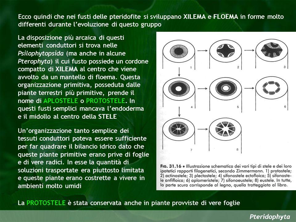 Pteridophyta Ecco quindi che nei fusti delle pteridofite si sviluppano XILEMA e FLOEMA in forme molto differenti durante levoluzione di questo gruppo