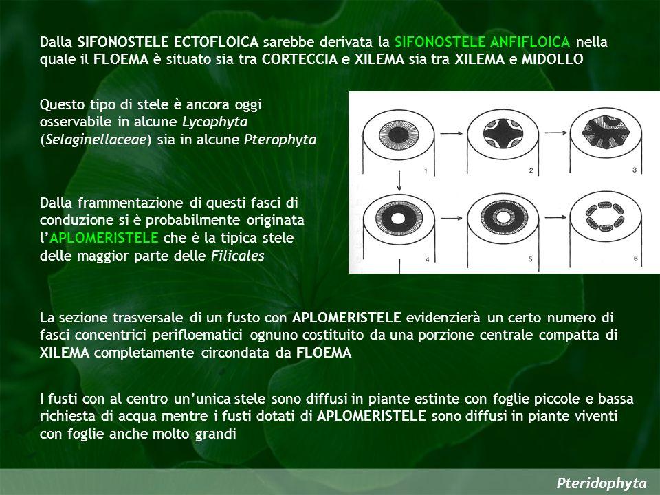 Pteridophyta Dalla SIFONOSTELE ECTOFLOICA sarebbe derivata la SIFONOSTELE ANFIFLOICA nella quale il FLOEMA è situato sia tra CORTECCIA e XILEMA sia tr