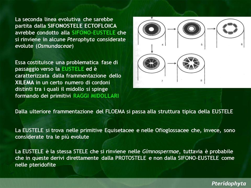 Pteridophyta La seconda linea evolutiva che sarebbe partita dalla SIFONOSTELE ECTOFLOICA avrebbe condotto alla SIFONO-EUSTELE che si rinviene in alcun