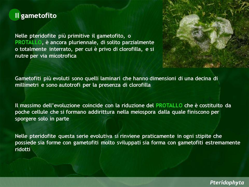 Pteridophyta Nelle pteridofite più primitive il gametofito, o PROTALLO, è ancora pluriennale, di solito parzialmente o totalmente interrato, per cui è