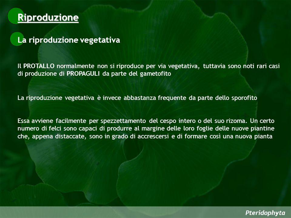 Pteridophyta Il PROTALLO normalmente non si riproduce per via vegetativa, tuttavia sono noti rari casi di produzione di PROPAGULI da parte del gametof