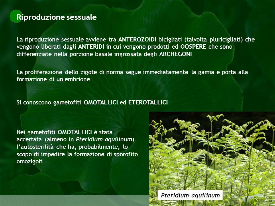 Pteridophyta La riproduzione sessuale avviene tra ANTEROZOIDI bicigliati (talvolta pluricigliati) che vengono liberati dagli ANTERIDI in cui vengono p