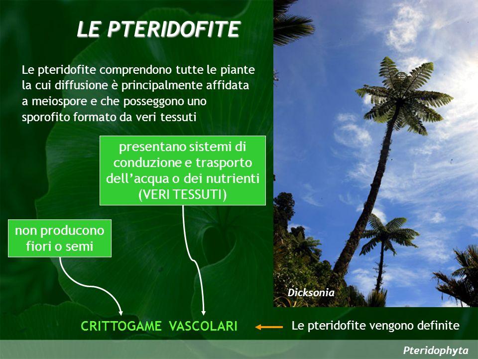 Pteridophyta Le pteridofite, a differenza delle briofite, sono caratterizzate da alternanza di generazioni antitetiche eteromorfiche in cui prevale lo SPOROFITO Unaltra fondamentale differenza riguarda la morfologia dello sporofito che è semplicissimo nelle briofite e raggiunge notevoli dimensioni e livelli di complessità nelle pteridofite dove è di norma costituito dai tre organi fondamentali delle TRACHEOFITE (radici, fusto e foglie) Il GAMETOFITO ha una vita molto breve ed è perenne solo in alcune specie molto primitive Le pteridofite sono le più antiche piante vascolari comparse sulla terra ferma per cui in alcune di esse si possono ancora riscontrare forme molto arcaiche di sistemi di conduzione Leptopteris superba Le pteridofite sono enormemente più evolute delle briofite per gli apparati vegetativi e per il loro ciclo vitale, ma sono molto simili alle briofite per le modalità di riproduzione sessuale in quanto avviene a seguito dellunione tra gameti prodotti da ANTERIDI ed ARCHEGONI.