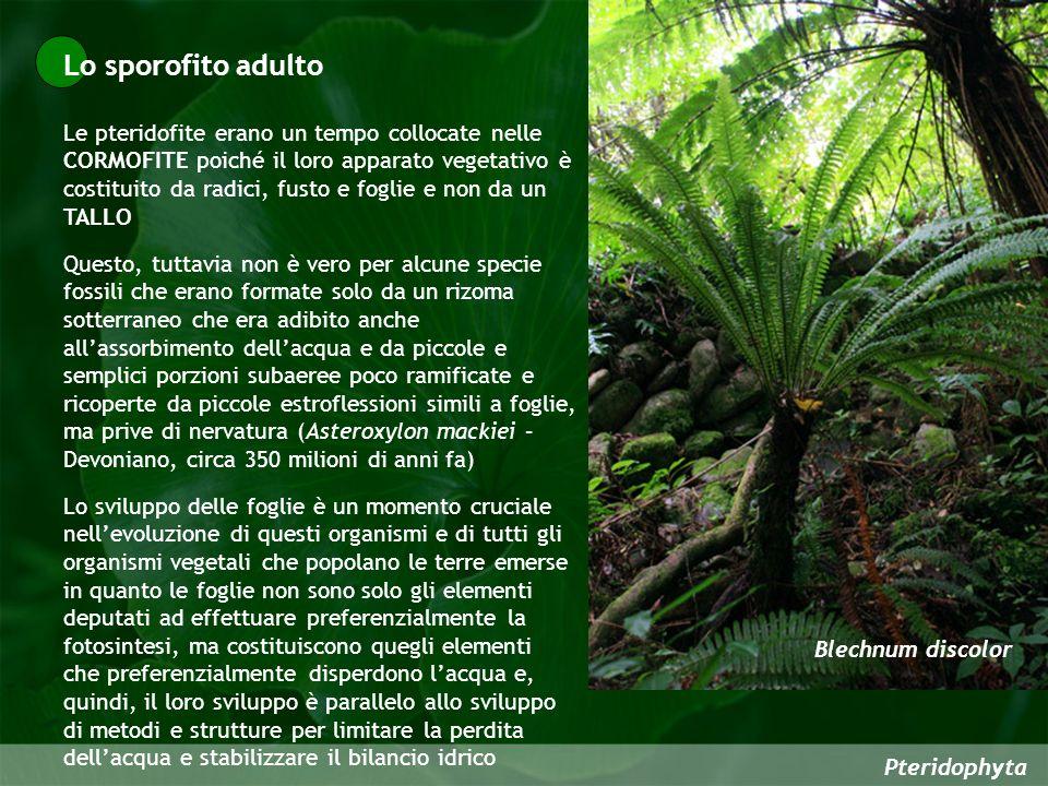 Pteridophyta Le pteridofite erano un tempo collocate nelle CORMOFITE poiché il loro apparato vegetativo è costituito da radici, fusto e foglie e non d
