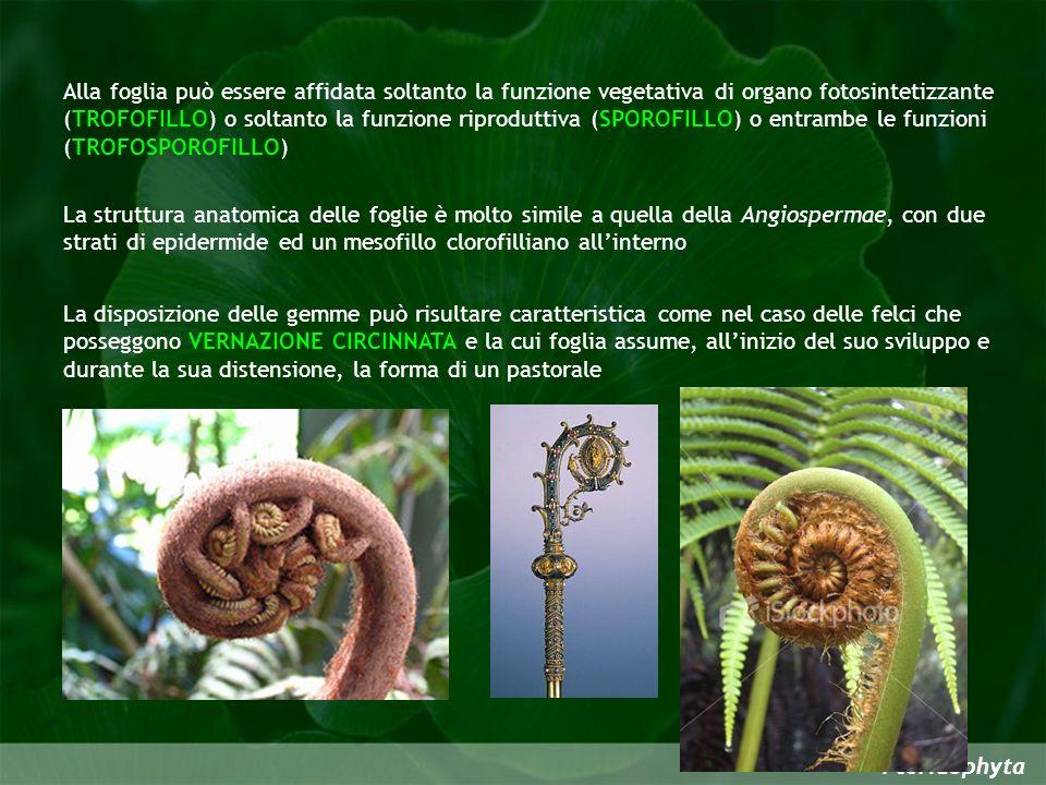 Pteridophyta Alla foglia può essere affidata soltanto la funzione vegetativa di organo fotosintetizzante (TROFOFILLO) o soltanto la funzione riprodutt