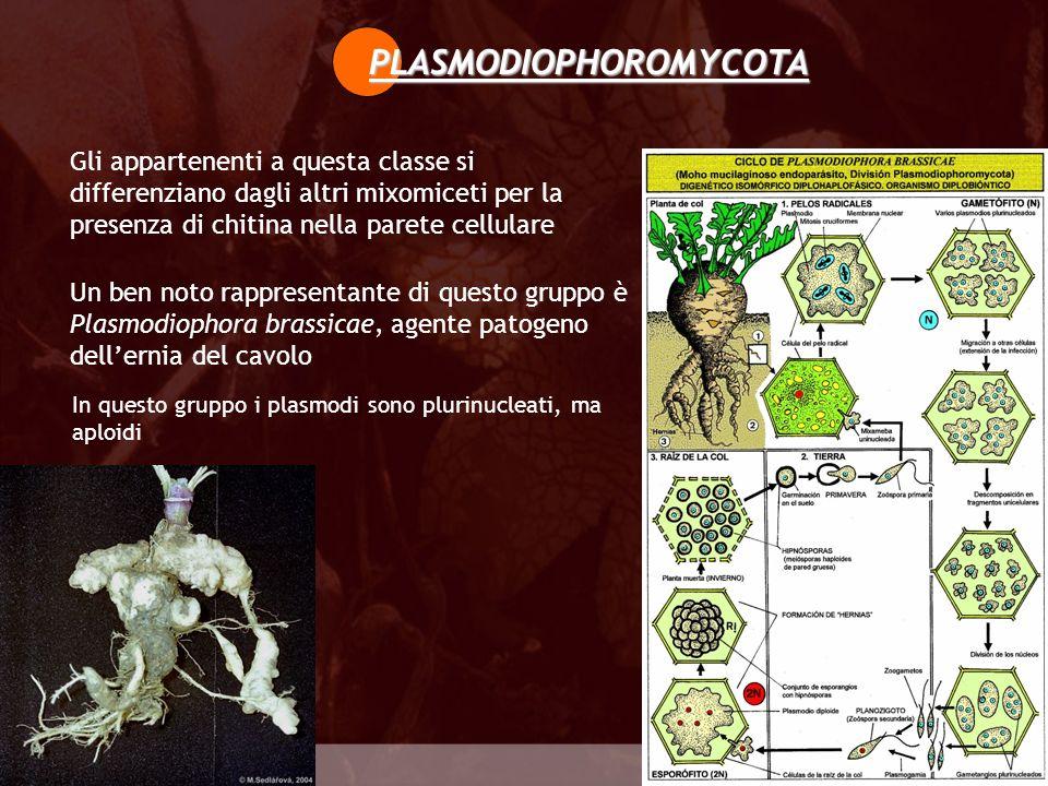 Gli appartenenti a questa classe si differenziano dagli altri mixomiceti per la presenza di chitina nella parete cellulare Plasmodiophoromycota PLASMO