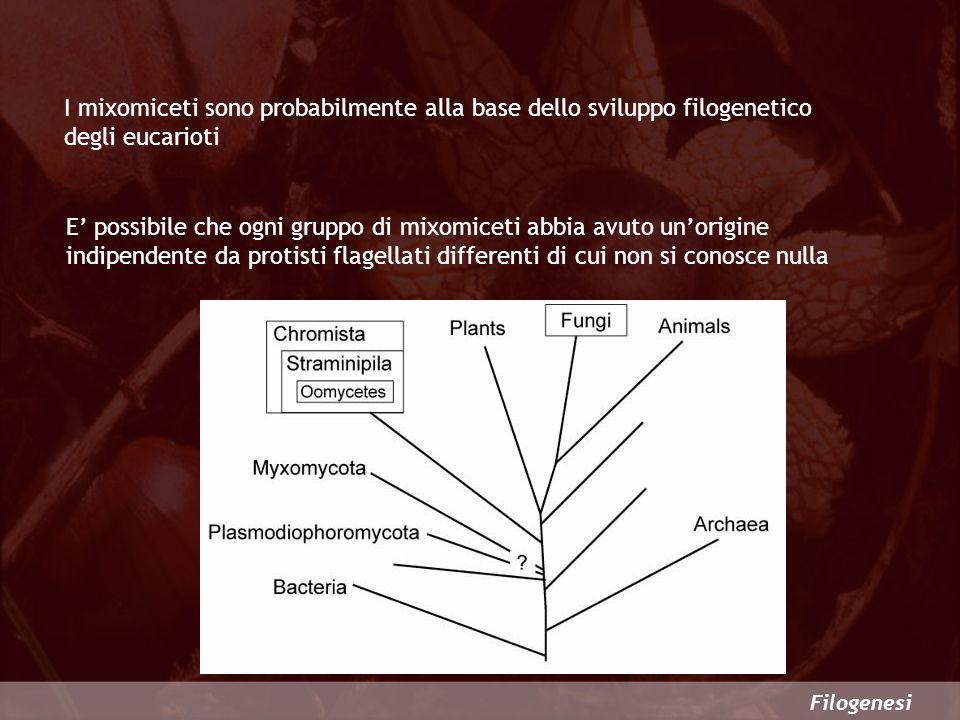 I mixomiceti sono probabilmente alla base dello sviluppo filogenetico degli eucarioti Filogenesi E possibile che ogni gruppo di mixomiceti abbia avuto