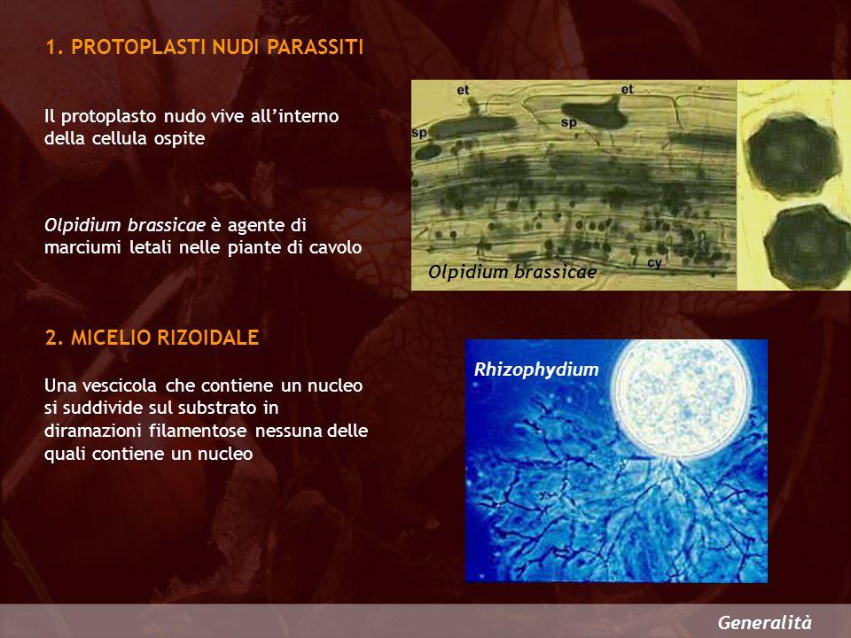 Generalità 1. PROTOPLASTI NUDI PARASSITI 2. MICELIO RIZOIDALE Il protoplasto nudo vive allinterno della cellula ospite Olpidium brassicae è agente di