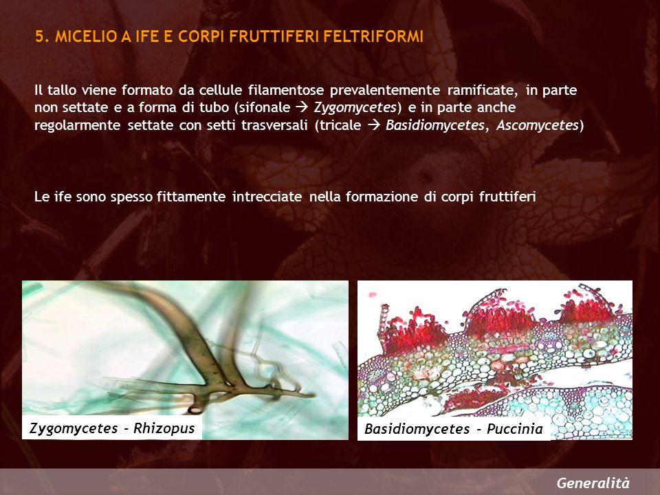 Generalità 5. MICELIO A IFE E CORPI FRUTTIFERI FELTRIFORMI Basidiomycetes - Puccinia Zygomycetes - Rhizopus Il tallo viene formato da cellule filament
