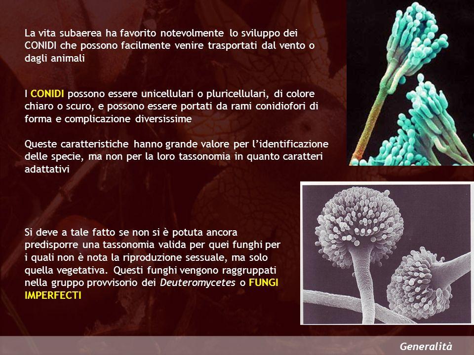 Generalità La produzione di meiospore è tipica degli Ascomycetes e dei Basidiomycetes RIPRODUZIONE PER SPORULAZIONE Le meiospore degli ascomiceti vengono prodotte allinterno di cellule particolari, dette ASCHI, per cui possono essere considerate endospore e vengono chiamate ASCOSPORE Nei basidiomiceti le meiospore non sono più endogene, ma sono portate allesterno di cellule specializzate, dette BASIDI, e sono denominate BASIDIOSPORE.