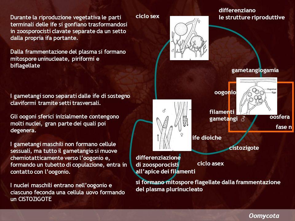 Oomycota Comprende parassiti che colpiscono prevalentemente alcune piante terrestri Peronosporales Le ife fungine intercellulari si espandono nel tessuto dellospite inviando nelle cellule vive corte appendici (AUSTORI) rami sporangiferi sporangi Peronospora sezione di un fusto di Sinapis austori Solitamente il micelio fuoriesce dalle aperture stomatiche formando ife ramificate riconoscibili macroscopicamente come chiazze di muffa