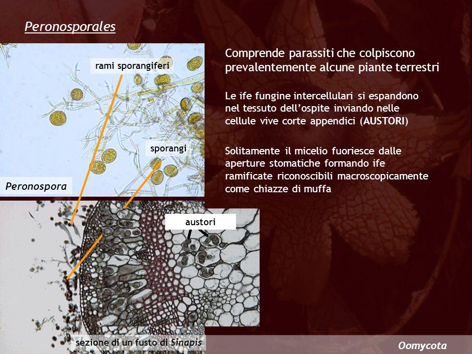 Oomycota Un pericoloso ed importante parassita della vite è Plasmopara viticola (peronospora della vite) Nei periodi umidi questo fungo attacca le foglie in modo epidemico provocandone la caduta e successivamente determina lavvizzimento e il marciume dei grappoli duva