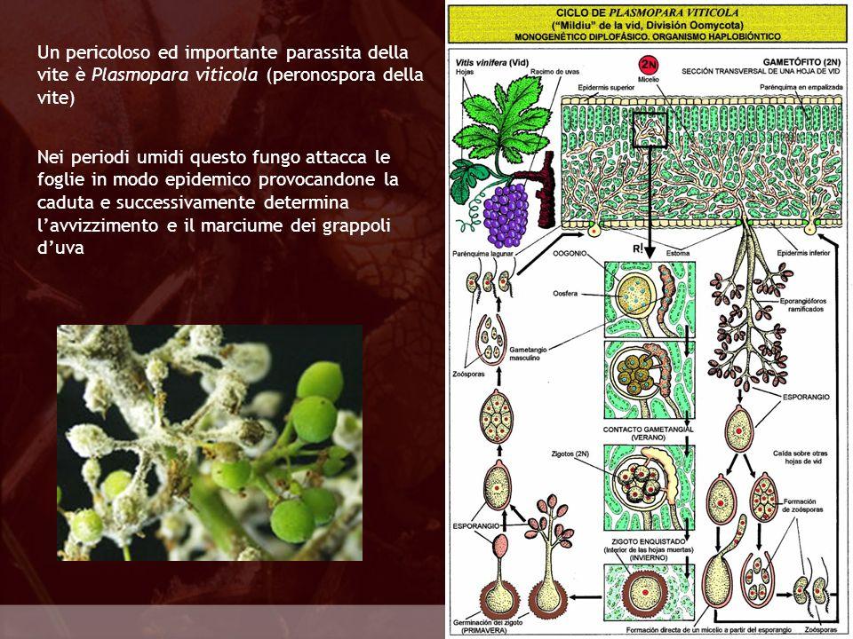 Oomycota Un pericoloso ed importante parassita della vite è Plasmopara viticola (peronospora della vite) Nei periodi umidi questo fungo attacca le fog