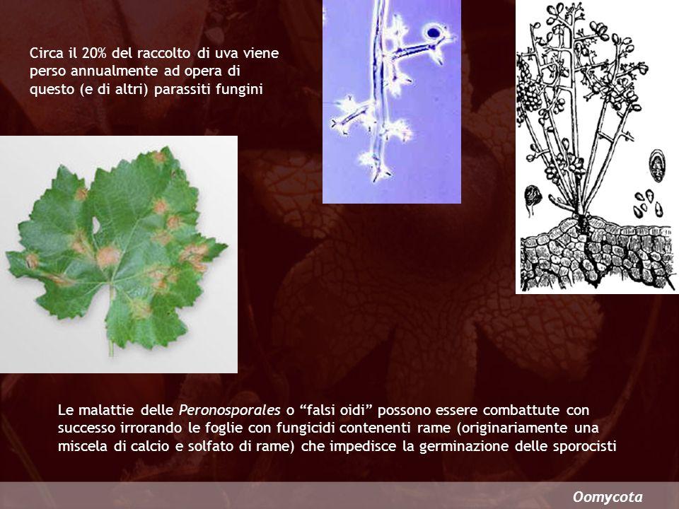Oomycota Circa il 20% del raccolto di uva viene perso annualmente ad opera di questo (e di altri) parassiti fungini Le malattie delle Peronosporales o