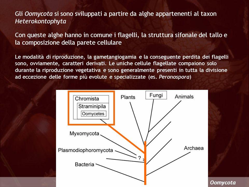 Oomycota Gli Oomycota si sono sviluppati a partire da alghe appartenenti al taxon Heterokontophyta Con queste alghe hanno in comune i flagelli, la str