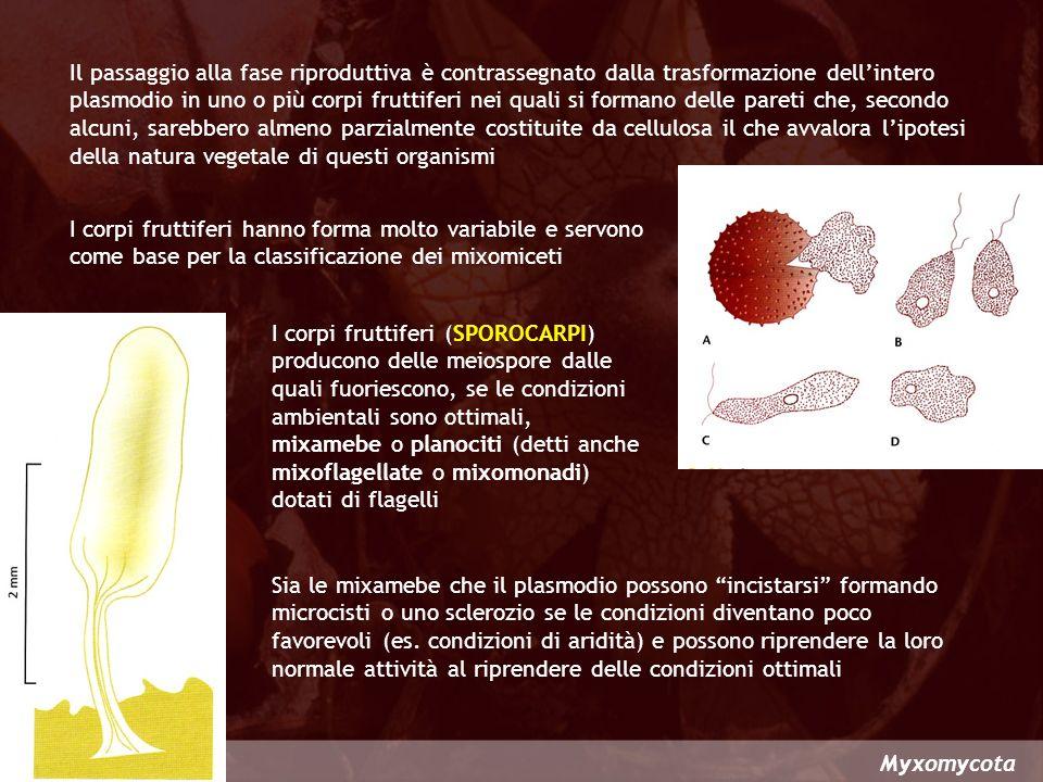 Questa divisione è rappresentata dallunica classe degli Acrasiomycetes che comprende organismi formati da mixamebe che strisciando sul substrato si uniscono senza fondersi le une con le altre formando un PLASMODIO DI AGGREGAZIONE detto anche PSEUDOPLASMODIO Acrasiomycota ACRASIOMYCOTA