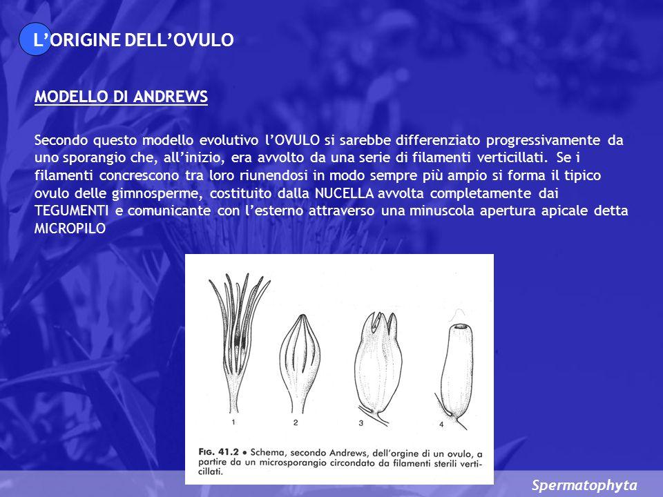 Spermatophyta MODELLO DI ANDREWS LORIGINE DELLOVULO Secondo questo modello evolutivo lOVULO si sarebbe differenziato progressivamente da uno sporangio che, allinizio, era avvolto da una serie di filamenti verticillati.