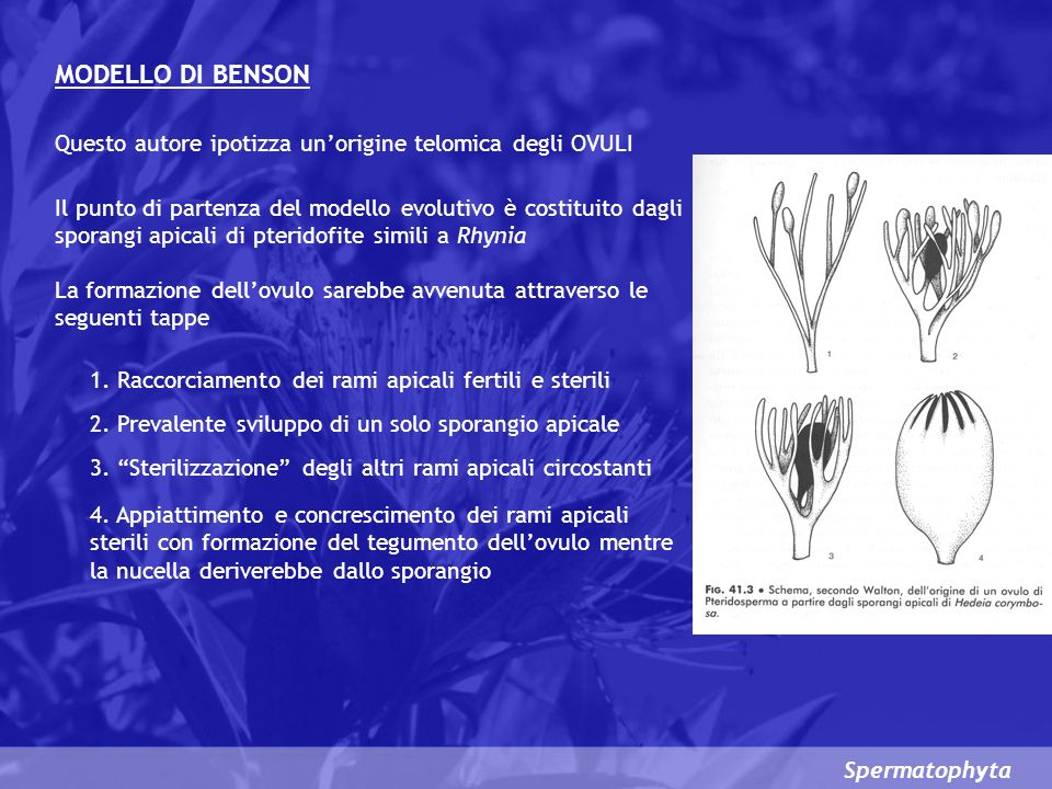 Spermatophyta MODELLO DI BENSON Questo autore ipotizza unorigine telomica degli OVULI Il punto di partenza del modello evolutivo è costituito dagli sporangi apicali di pteridofite simili a Rhynia La formazione dellovulo sarebbe avvenuta attraverso le seguenti tappe 1.