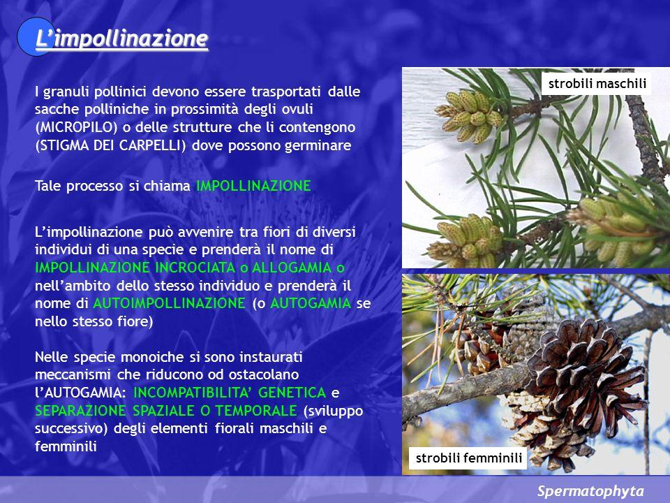 Spermatophyta Limpollinazione I granuli pollinici devono essere trasportati dalle sacche polliniche in prossimità degli ovuli (MICROPILO) o delle strutture che li contengono (STIGMA DEI CARPELLI) dove possono germinare Tale processo si chiama IMPOLLINAZIONE Limpollinazione può avvenire tra fiori di diversi individui di una specie e prenderà il nome di IMPOLLINAZIONE INCROCIATA o ALLOGAMIA o nellambito dello stesso individuo e prenderà il nome di AUTOIMPOLLINAZIONE (o AUTOGAMIA se nello stesso fiore) Nelle specie monoiche si sono instaurati meccanismi che riducono od ostacolano lAUTOGAMIA: INCOMPATIBILITA GENETICA e SEPARAZIONE SPAZIALE O TEMPORALE (sviluppo successivo) degli elementi fiorali maschili e femminili strobili maschili strobili femminili