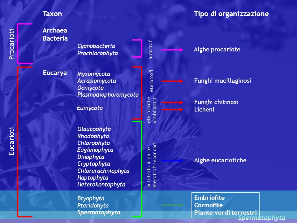 Spermatophyta LE SPERMATOFITE Le SPERMATOFITE o FANEROGAME sono piante vascolari dotate di OVULO, struttura esclusiva e nuova in termini evolutivi, dal quale si sviluppa il SEME (dal greco Le spermatofite rappresentano il gruppo più numeroso di piante vascolari con circa 240.000 specie viventi Esse costituiscono un gruppo monofiletico avente come caratteristiche la presenze del SEME, MACROSPORANGI avvolti da tegumenti, legno prodotto da un meristema secondario (CAMBIO) e ramificazione ascellare